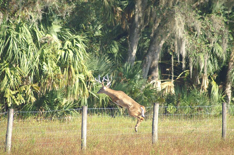 Rock_Lake_Ranch_Deer_Jumping.jpg