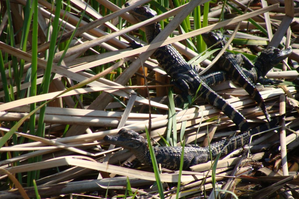 Osprey_Point_Trophy_Bass_Lake_Baby_Gators.jpg