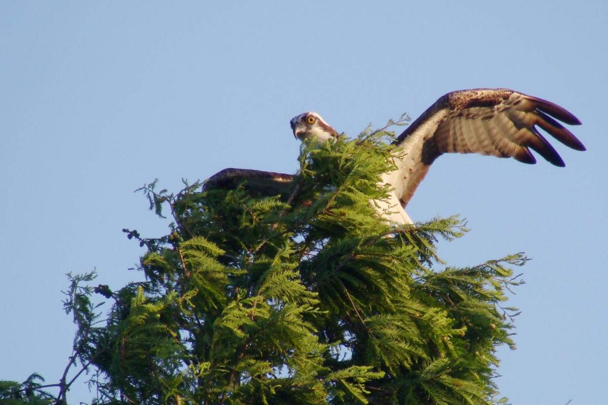 Osprey_Point_Trophy_Bass_Lake_Bird.jpg