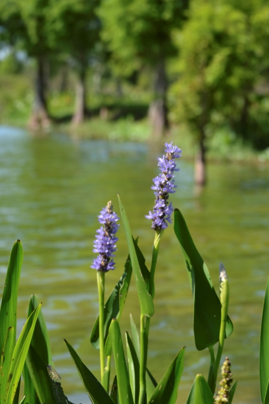 Osprey_Point_Trophy_Bass_Lake_Flower.jpg