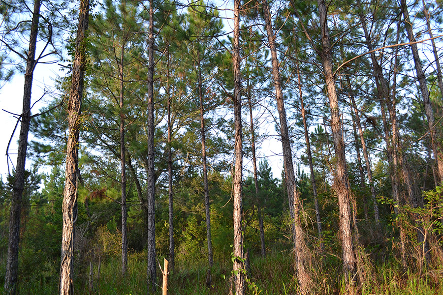 4_SR_24_Timberland_Trees.jpg