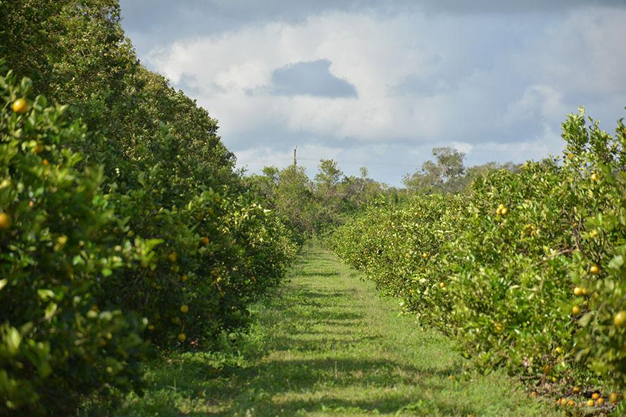 Orange_Avenue_70_Acre_Farm_Citrus_Grove.jpg