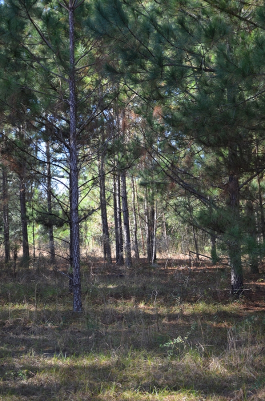 Withlacoochee_Recreational_Investment_Pine_Trees.jpg